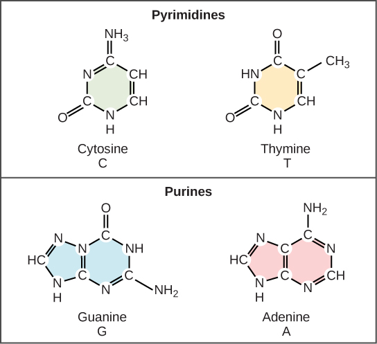 (b) Cytosine and thymine are pyrimidines. Guanine and adenine are purines.