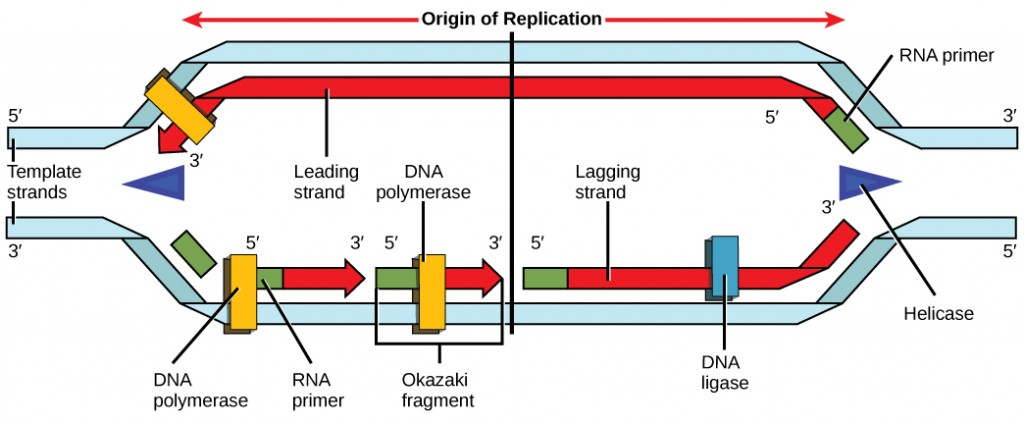 Illustration shows a replication bubble. Helicase unwinds the helix. An RNA primer starts the synthesis, and DNA polymerase extends the DNA strand from the RNA primer. DNA synthesis occurs only in the 5' to 3' direction. On the leading strand, DNA synthesis occurs continuously. On the lagging strand, DNA synthesis restarts many times as the helix unwinds, resulting in many short fragments called Okazaki fragments.
