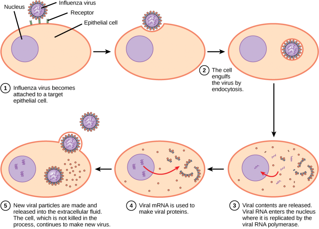 The illustration shows the steps of an influenza virus infection. In step 1, influenza virus becomes attached to a receptor on a target epithelial cell. In step 2, the cell engulfs the virus by endocytosis, and the virus becomes encased in the cell's plasma membrane. In step 3, the membrane dissolves, and the viral contents are released into the cytoplasm. Viral mRNA enters the nucleus, where it is replicated by viral RNA polymerase. In step 4, viral mRNA exits to the cytoplasm, where it is used to make viral proteins. In step 5, new viral particles are released into the extracellular fluid. The cell, which is not killed in the process, continues to make new virus.