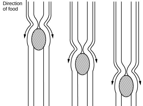 Illustration of bolus moving through esophagus.