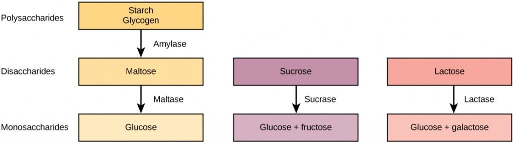 Schematic showing breakdown of glucose, fructose and galactose.