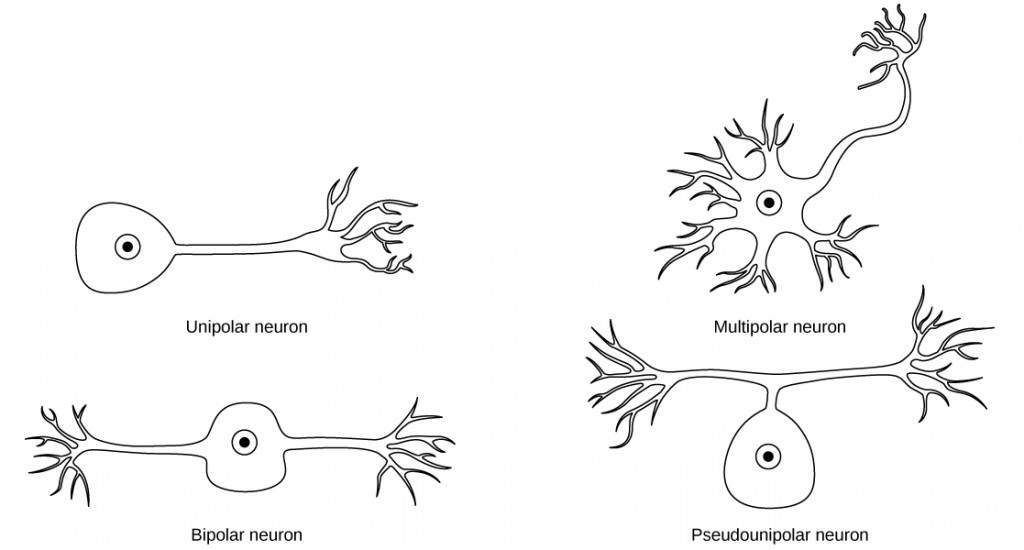 Different types of neurons