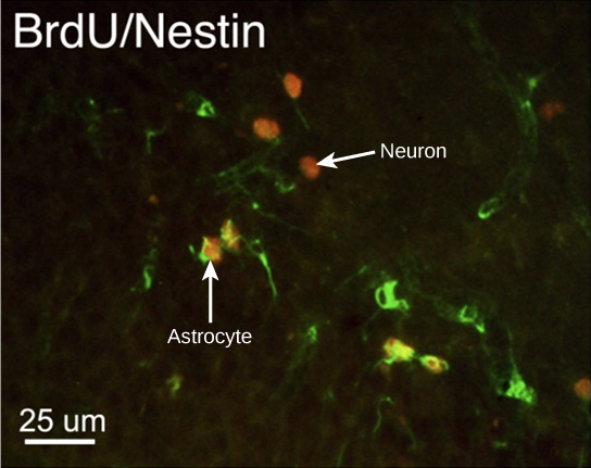 Neurogenesis in rats
