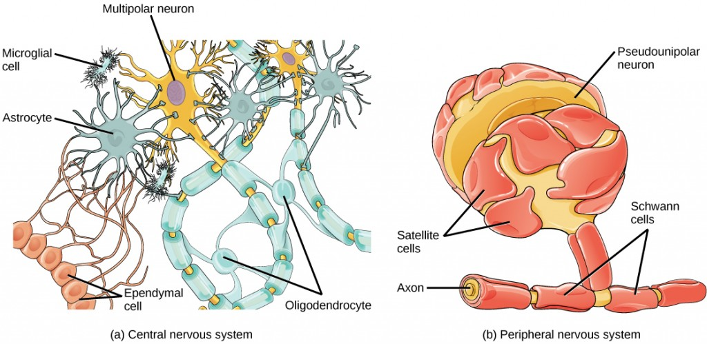 Figure 35.7.  Glial cells support neurons and maintain their environment. Glial cells of the (a) central nervous system include oligodendrocytes, astrocytes, ependymal cells, and microglial cells. Oligodendrocytes form the myelin sheath around axons. Astrocytes provide nutrients to neurons, maintain their extracellular environment, and provide structural support. Microglia scavenge pathogens and dead cells. Ependymal cells produce cerebrospinal fluid that cushions the neurons. Glial cells of the (b) peripheral nervous system include Schwann cells, which form the myelin sheath, and satellite cells, which provide nutrients and structural support to neurons.