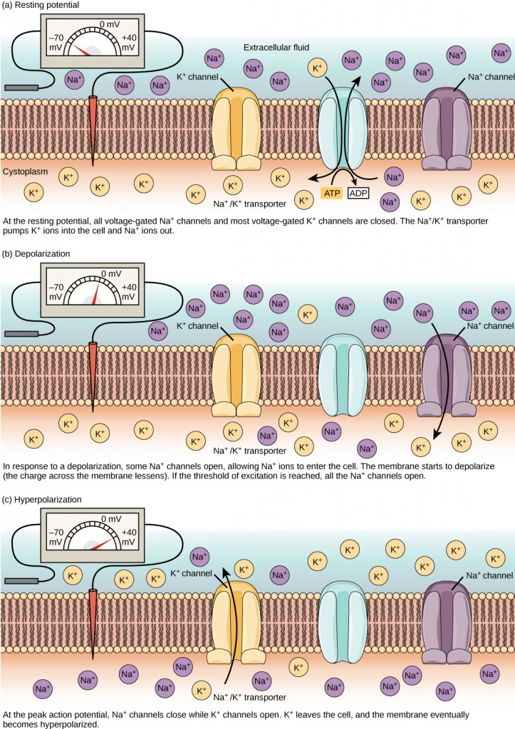 The (a) resting membrane potential is a result of different concentrations of Na+ and K+ ions inside and outside the cell. A nerve impulse causes Na+ to enter the cell, resulting in (b) depolarization. At the peak action potential, K+ channels open and the cell becomes (c) hyperpolarized.