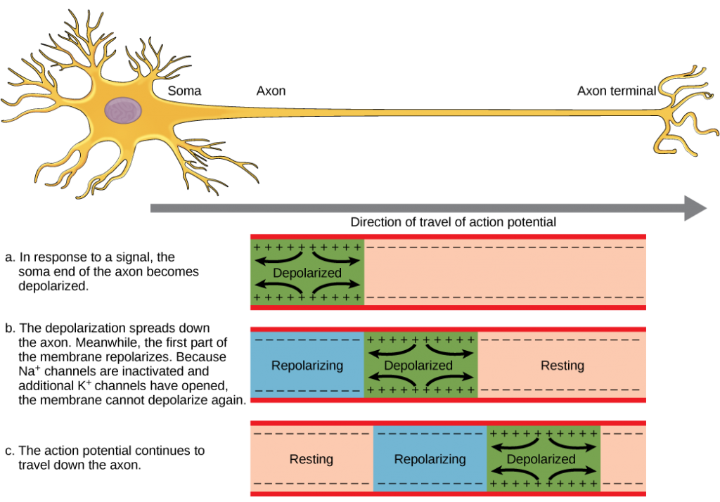 Action potential propagation in an unmyelineated neuron.