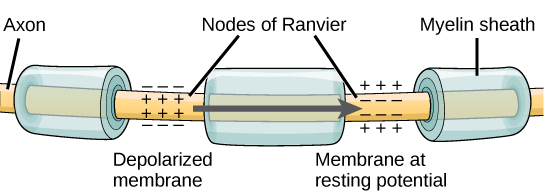 Myelin sheets with Nodes of Ranvier.