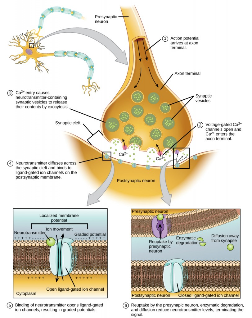 Communication at chemical synapses requires release of neurotransmitters.