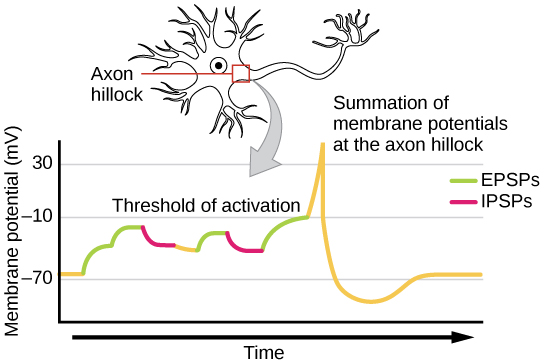 A single neuron can receive both excitatory and inhibitory inputs from multiple neurons.