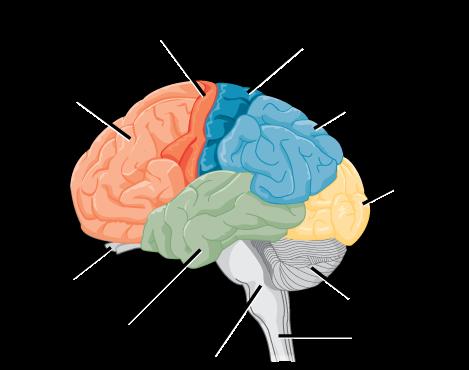 The human cerebral cortex includes the frontal, parietal, temporal, and occipital lobes.