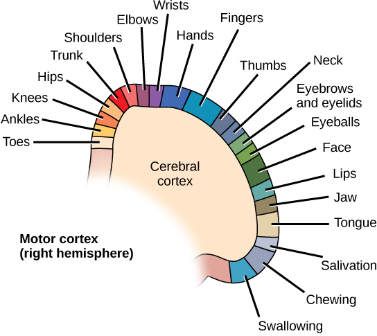 Different parts of the motor cortex control different muscle groups.
