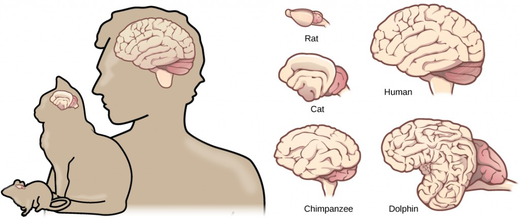 Brain size and structures within mammals