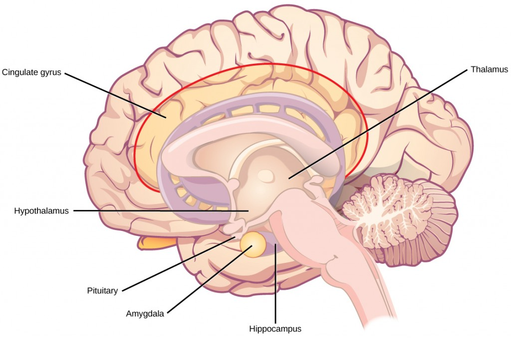 The limbic system.