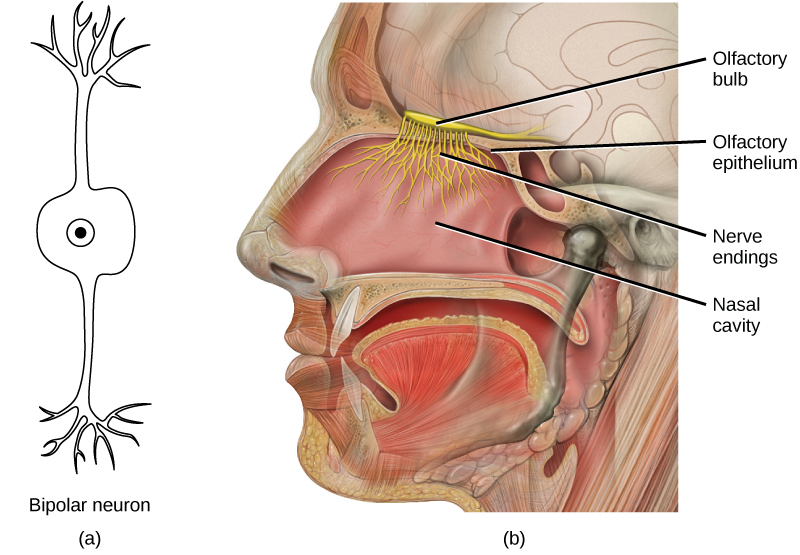 Human olfactory system