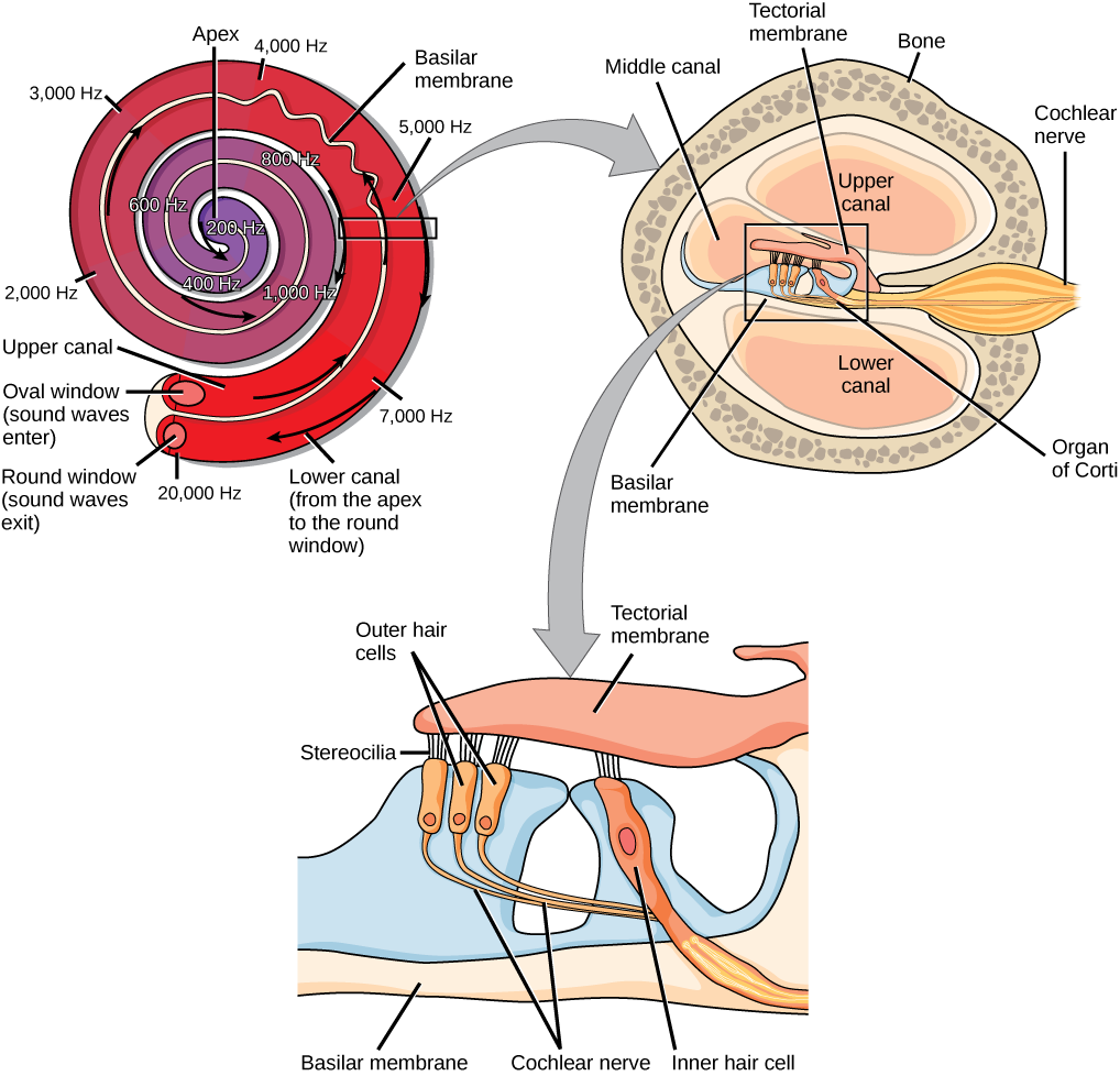 Human ear and sound transduction