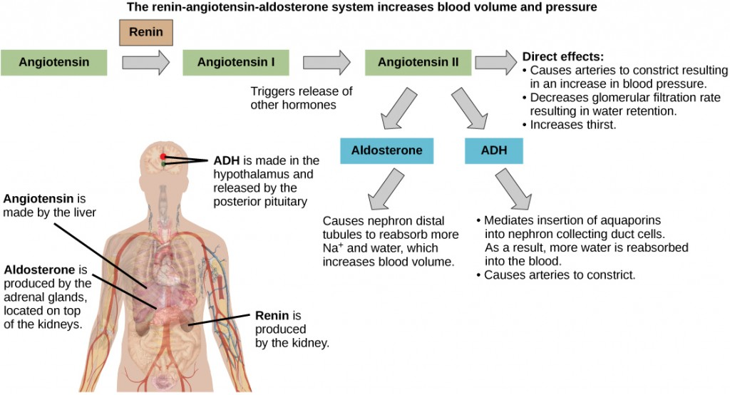 Figure 37.7.  ADH and aldosterone increase blood pressure and volume. Angiotensin II stimulates release of these hormones. Angiotensin II, in turn, is formed when renin cleaves angiotensin. (credit: modification of work by Mikael Häggström)