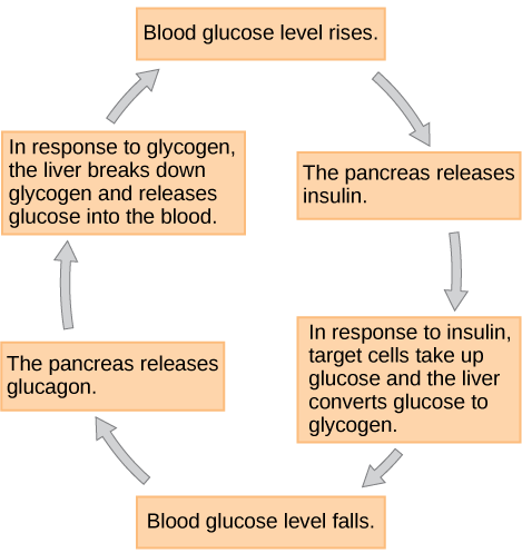 Figure 37.11.  Insulin and glucagon regulate blood glucose levels.