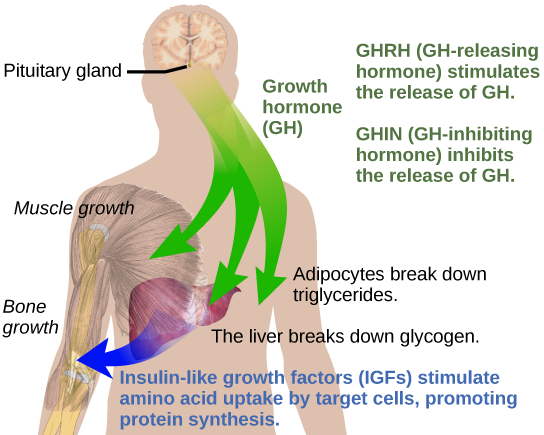Figure 37.13.  Growth hormone directly accelerates the rate of protein synthesis in skeletal muscle and bones. Insulin-like growth factor 1 (IGF-1) is activated by growth hormone and also allows formation of new proteins in muscle cells and bone. (credit: modification of work by Mikael Häggström)