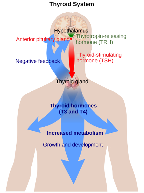 Figure 37.14.  The anterior pituitary stimulates the thyroid gland to release thyroid hormones T3 and T4. Increasing levels of these hormones in the blood results in feedback to the hypothalamus and anterior pituitary to inhibit further signaling to the thyroid gland. (credit: modification of work by Mikael Häggström)