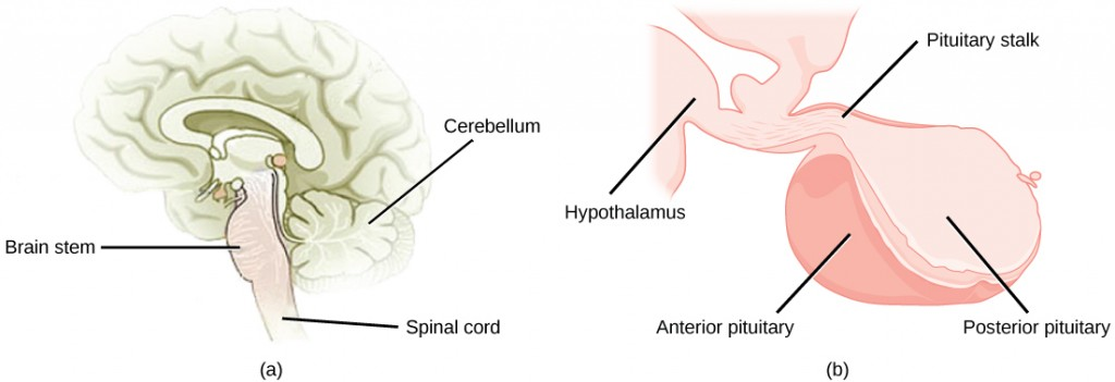 Figure 37.15.  The pituitary gland is located at (a) the base of the brain and (b) connected to the hypothalamus by the pituitary stalk. (credit a: modification of work by NCI; credit b: modification of work by Gray's Anatomy)