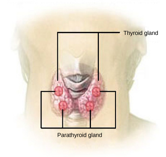 Figure 37.17.  The parathyroid glands are located on the posterior of the thyroid gland. (credit: modification of work by NCI)