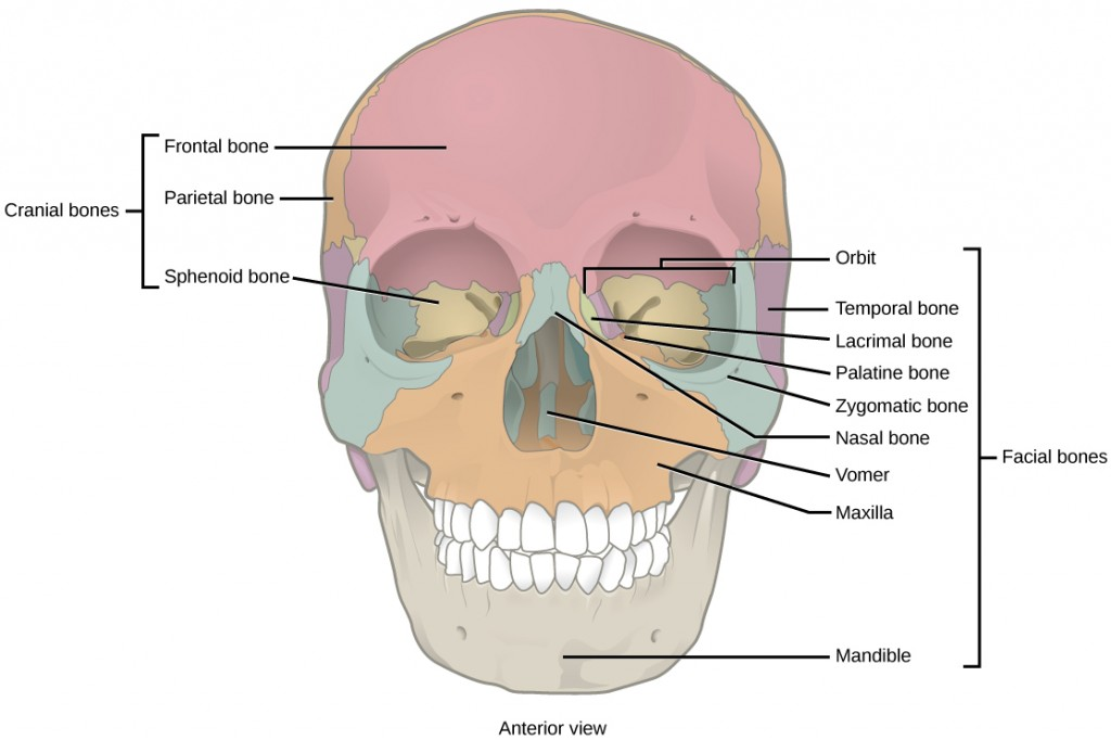Figure 38.7.  The cranial bones, including the frontal, parietal, and sphenoid bones, cover the top of the head. The facial bones of the skull form the face and provide cavities for the eyes, nose, and mouth.