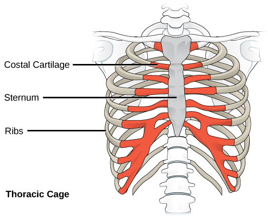 Figure 38.9.  The thoracic cage, or rib cage, protects the heart and the lungs. (credit: modification of work by NCI, NIH)