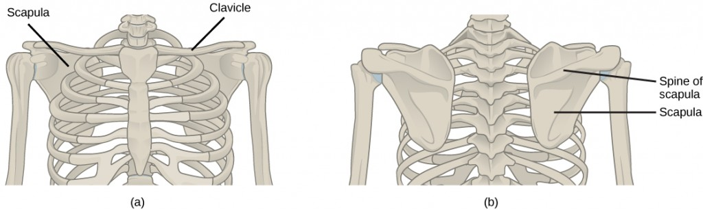 Figure 38.11.  (a) The pectoral girdle in primates consists of the clavicles and scapulae. (b) The posterior view reveals the spine of the scapula to which muscle attaches.