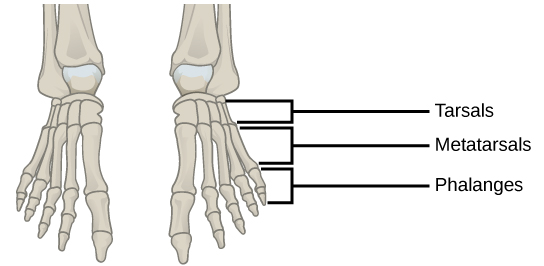 Figure 38.15.  This drawing shows the bones of the human foot and ankle, including the metatarsals and the phalanges.