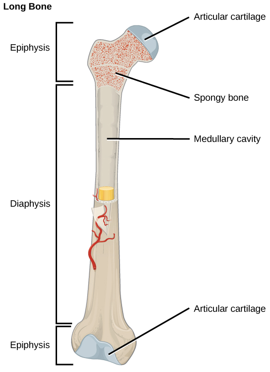 Figure 38.17.  The long bone is covered by articular cartilage at either end and contains bone marrow (shown in yellow in this illustration) in the marrow cavity.