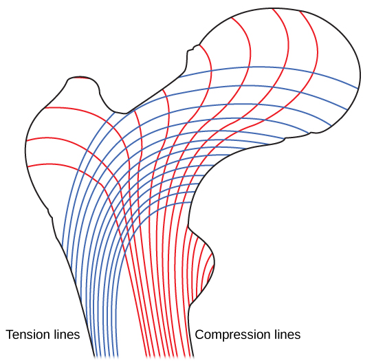 Figure 38.20.  Trabeculae in spongy bone are arranged such that one side of the bone bears tension and the other withstands compression.