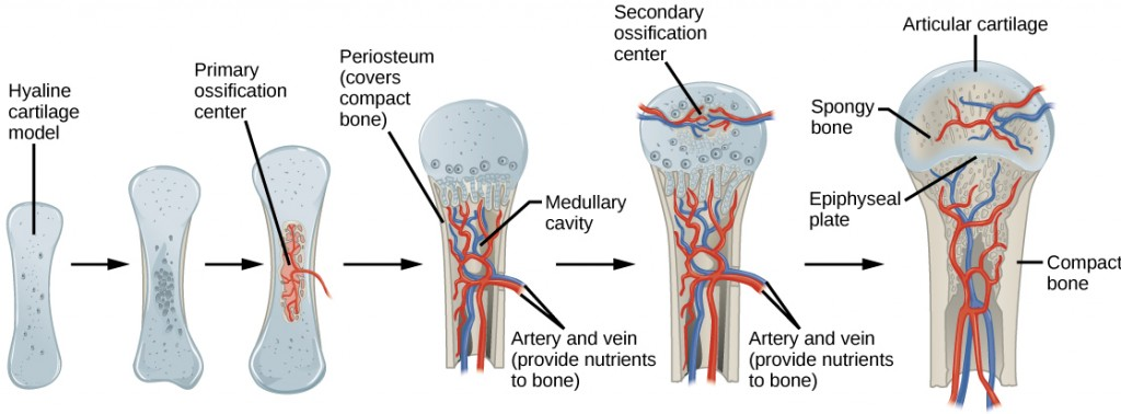 Figure 38.21.  Endochondral ossification is the process of bone development from hyaline cartilage. The periosteum is the connective tissue on the outside of bone that acts as the interface between bone, blood vessels, tendons, and ligaments.