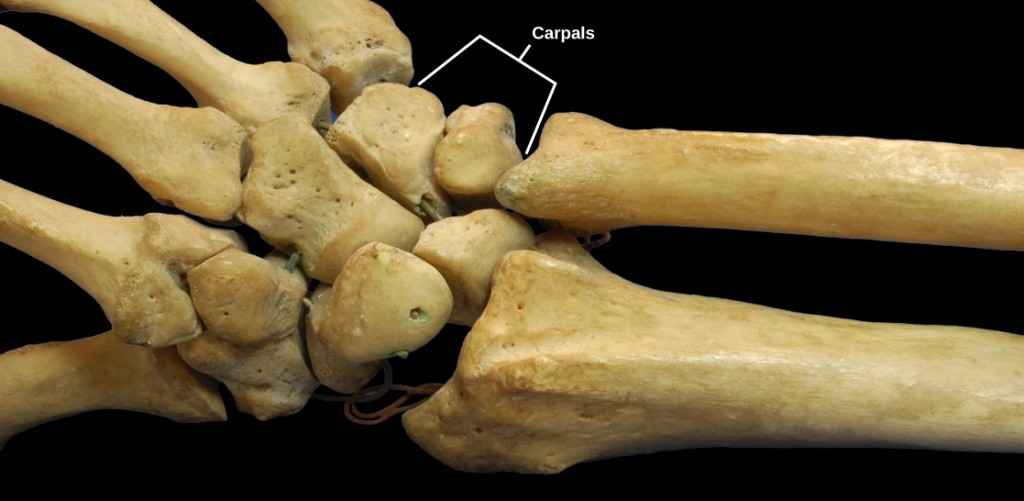 Figure 38.27.  The joints of the carpal bones in the wrist are examples of planar joints. (credit: modification of work by Brian C. Goss)