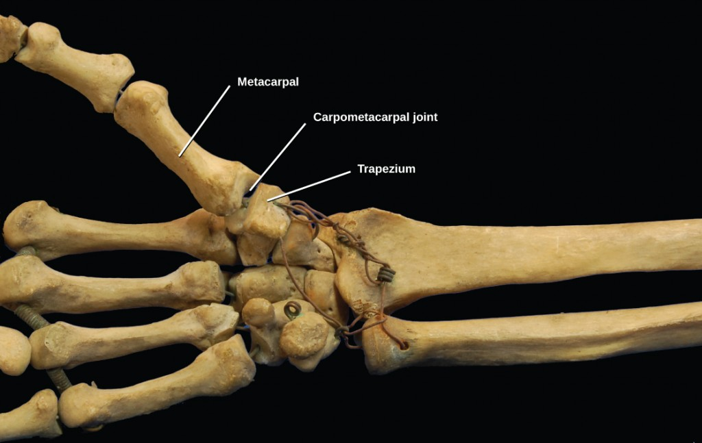 Figure 38.31.  The carpometacarpal joints in the thumb are examples of saddle joints. (credit: modification of work by Brian C. Goss)