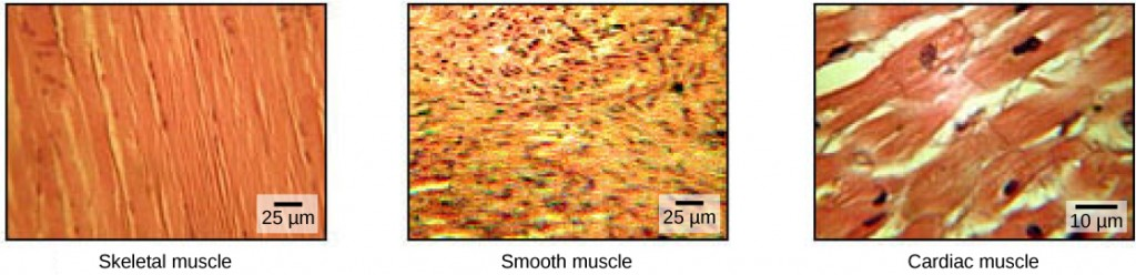 An image of different muscle types, including skeletal, smooth and cardiac muscle