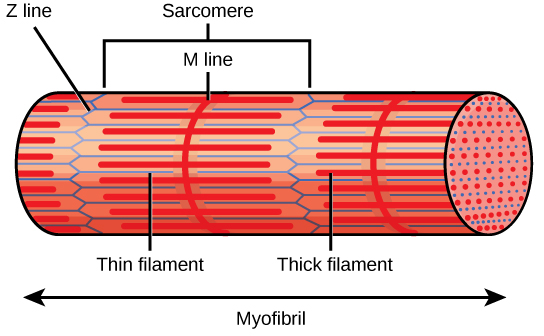 Figure 38.35.  A sarcomere is the region from one Z line to the next Z line. Many sarcomeres are present in a myofibril, resulting in the striation pattern characteristic of skeletal muscle.