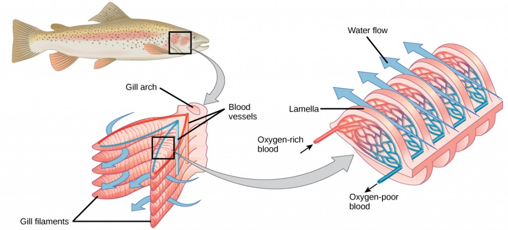 Water and oxygen flow through gill arch in a fish.