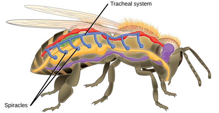 Blood and tracheal system in an insect.