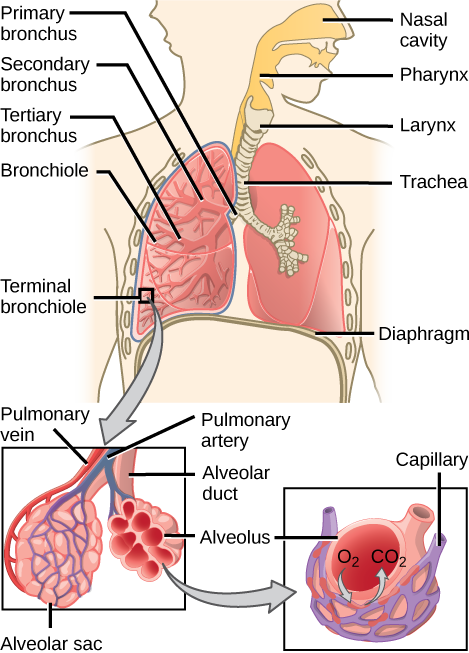 Human respiratory system with details of alveolar sac gas exchange.