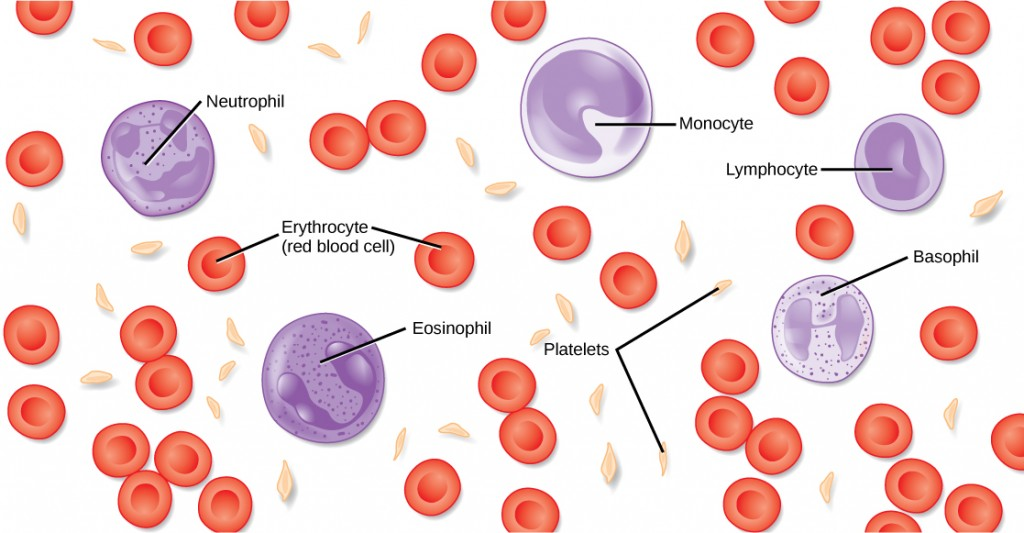 Illustration of the components of blood.