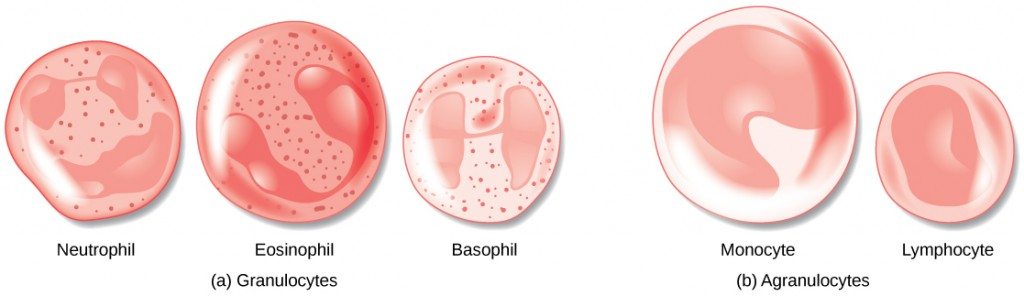 Illustrations of the different white blood cells.