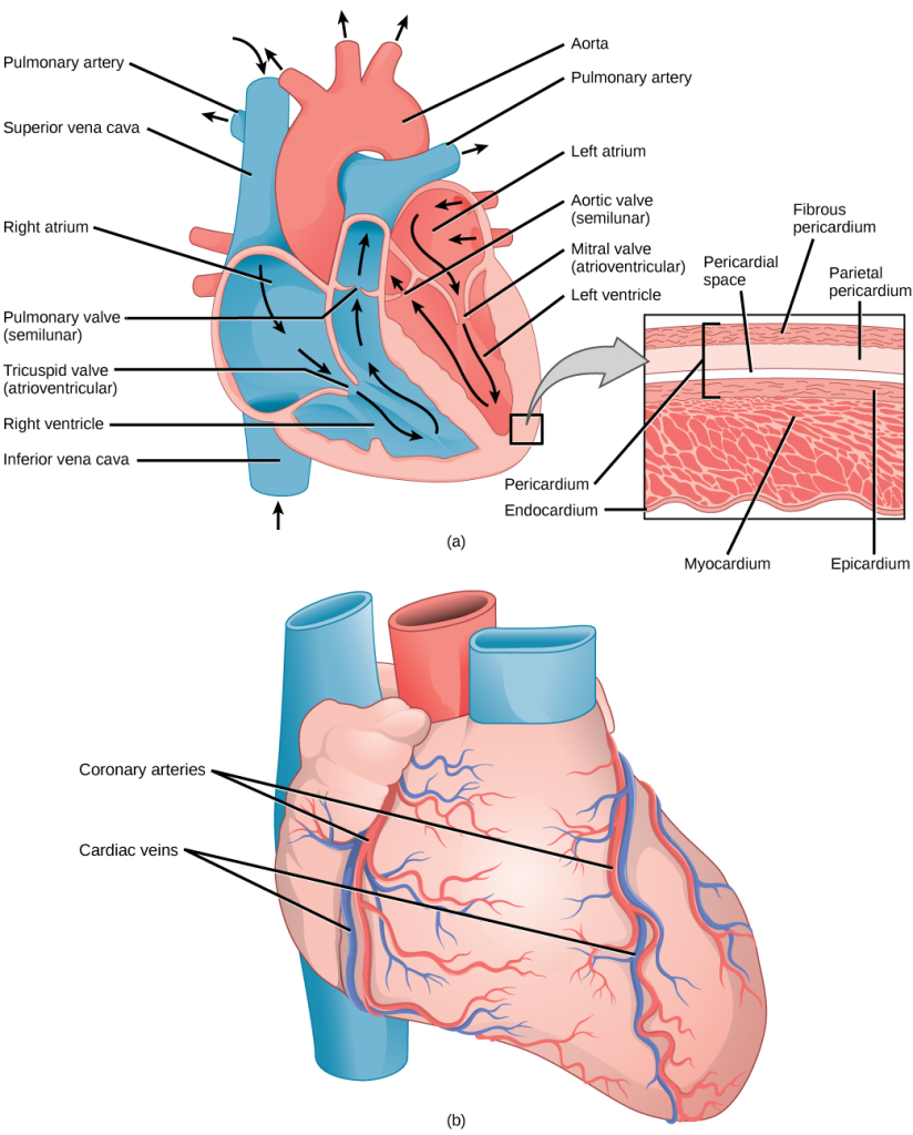 Image consists of three diagrams, the first of a labelled diagram of the heart, the second is a close-up of the heart's outer membrane, the third of the blood vessels on the surface of the heart's outer membrane.