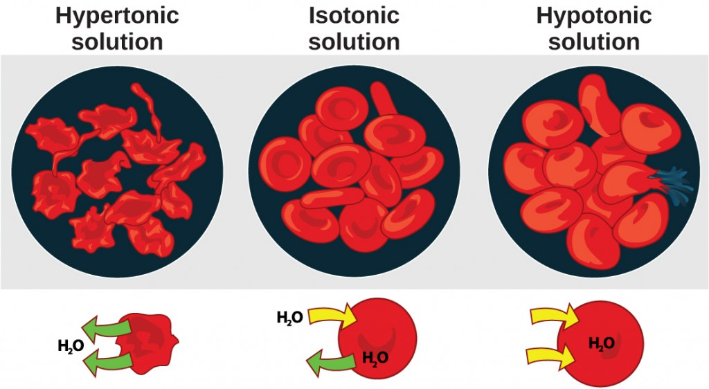 This figure shows red blood cell size and shape in hypertonic, isotonic and hypotonic solution.