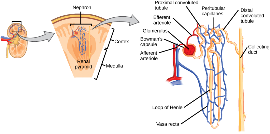 This figure shows the details of nephron structure within the kidney, including blood vessels arriving to and within the Bowman's capsule and around the nephron loop.