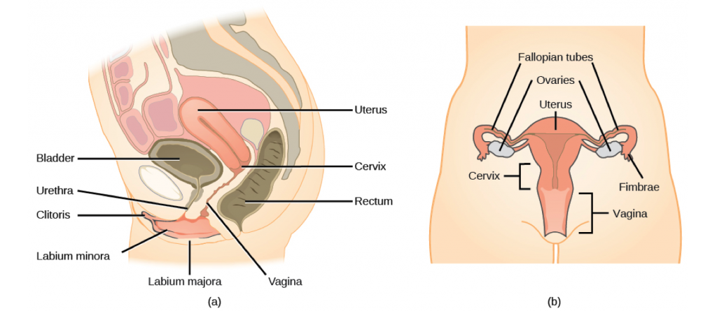 A number of female reproductive structures are exterior to the body. These include the breasts and the vulva, which consists of the mons pubis, clitoris, labia majora, labia minora, and the vestibular glands (Figure 13.13; Table 13.2).