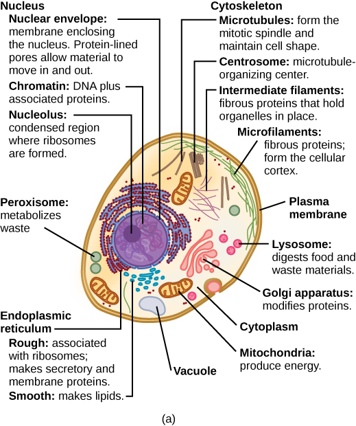 Part a: This illustration shows a typical eukaryotic cell, which is egg shaped. The fluid inside the cell is called the cytoplasm, and the cell is surrounded by a cell membrane. The nucleus takes up about one-half of the width of the cell. Inside the nucleus is the chromatin, which is comprised of DNA and associated proteins. A region of the chromatin is condensed into the nucleolus, a structure in which ribosomes are synthesized. The nucleus is encased in a nuclear envelope, which is perforated by protein-lined pores that allow entry of material into the nucleus. The nucleus is surrounded by the rough and smooth endoplasmic reticulum, or ER. The smooth ER is the site of lipid synthesis. The rough ER has embedded ribosomes that give it a bumpy appearance. It synthesizes membrane and secretory proteins. Besides the ER, many other organelles float inside the cytoplasm. These include the Golgi apparatus, which modifies proteins and lipids synthesized in the ER. The Golgi apparatus is made of layers of flat membranes. Mitochondria, which produce energy for the cell, have an outer membrane and a highly folded inner membrane. Other, smaller organelles include peroxisomes that metabolize waste, lysosomes that digest food, and vacuoles. Ribosomes, responsible for protein synthesis, also float freely in the cytoplasm and are depicted as small dots. The last cellular component shown is the cytoskeleton, which has four different types of components: microfilaments, intermediate filaments, microtubules, and centrosomes. Microfilaments are fibrous proteins that line the cell membrane and make up the cellular cortex. Intermediate filaments are fibrous proteins that hold organelles in place. Microtubules form the mitotic spindle and maintain cell shape. Centrosomes are made of two tubular structures at right angles to one another. They form the microtubule-organizing center.Figure_03_03_01a_new