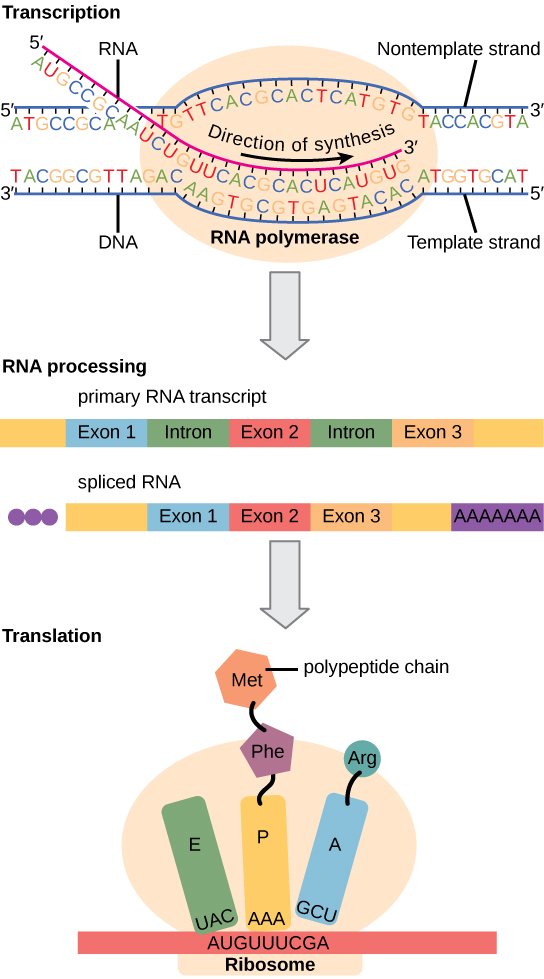 Illustration shows the steps of protein synthesis in three steps: transcription, RNA processing, and translation. In transcription, the RNA strand is synthesized by RNA polymerase in the 5' to 3' direction. In RNA processing, a primary RNA transcript with three exons and two introns is shown. In the spliced transcript, the introns are removed and the exons are fused together. A 5' cap and poly-A tail have also been added. In translation, an initiator tRNA recognizes the sequence AUG on the mRNA that is associated with the small ribosomal subunit. The large subunit joins the complex. Next, a second tRNA is recruited at the A site. A peptide bond is formed between the first amino acid, which is at the P site, and the second amino acid, which is at the A site. The mRNA then shifts and the first tRNA is moved to the E site, where it dissociates from the ribosome. Another tRNA binds the A site, and the process is repeated.