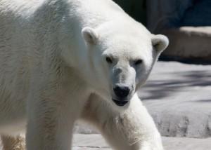 This photo shows a white, furry polar bear.