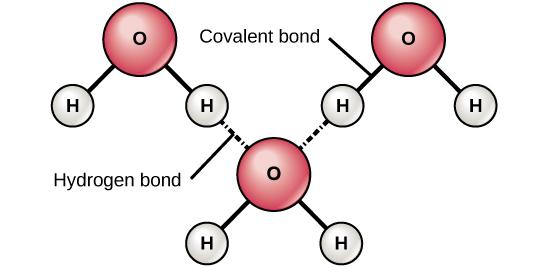 Diagram showing hydrogen bonds formed between adjacent water molecules.