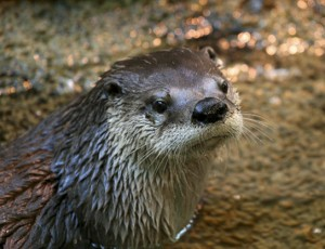 A photo of a river otter in the water